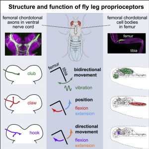 """Neural Coding of Leg Proprioception in Drosophila"" written by John Tuthill and Pralaksha Gurung, published in Neuron"